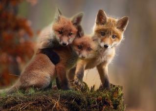 fox-3707653_1920